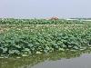 安新县菡艺水生花卉种植有限公司