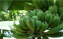 香蕉 芭蕉区别|芭蕉营养价值|香蕉营养价值