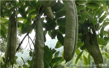 皂荚品种介绍