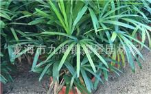 福建棕竹价格行情,最新棕竹价格查询-2017年1月23日
