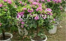 水果盆栽怎么种植方法?果树树桩盆景的制作方法