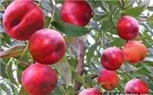 北方哪些果树适合盆栽?盆栽果树什么品种结果多?