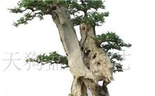 近年来最流行的果树盆景有哪些?盆景果树种植