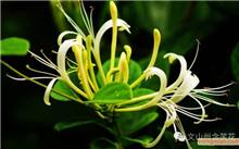 美人松是什么样的松树?