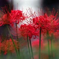 红色彼岸花 种球 盆栽 又称曼珠沙华|红花石蒜 球根|促销价