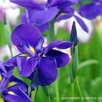 德国鸢尾花,鸢尾苗.观花植物.庭院绿化.盆栽花卉