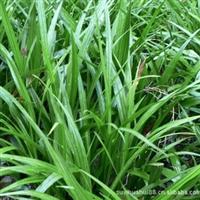 吉祥草 苗四季常青花卉苗木 绿化专用 盆栽 称心如意