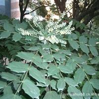 盆栽花卉 绿化用苗 耐阴花卉 阔叶十大功劳 四季长青可盆栽