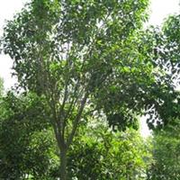 山东栾树苗  园林绿化  景观绿化  1-30公分栾树 栾树苗
