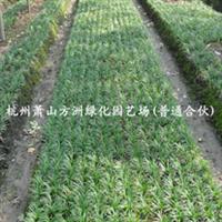 ~供应 矮麦冬等草坪植物 ,供应玉龙草 阔叶麦冬