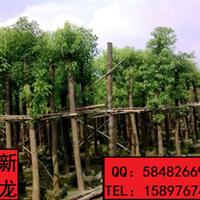 新龙苗圃自有基地批发销售大香樟树