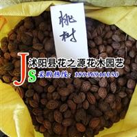 批发供应优质桃树种子 毛桃种子 当年新采 推荐产品