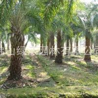 基地到期清场、杆高2-3米中东海枣、银海枣低价出售