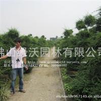大量供应高1.5至2.5米造型福建茶盆景,以量订价,可大量提供地苗