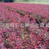 批发【紫叶小檗】陕西园林绿化苗木红叶小檗【营养钵紫叶小檗】