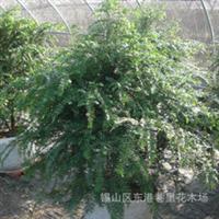 《无纺布大苗》长期供应批发优质极品红豆杉苗木桩头盆景