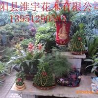 供应各种规格盆景、60cm文竹、茶花