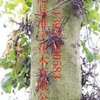 供应各种大乔木、古树皂角