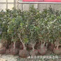 供应:  腊梅   腊梅种子¶ 进口种子 果树种子种苗