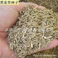 供应 美国籽粒苋、沙打旺、苏丹草、紫花苜蓿