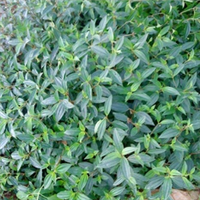 桂林林香花卉苗木场大量供应野牡丹扦插苗
