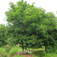 供应绿化苗木,四季桂、品种齐全、价格优惠。