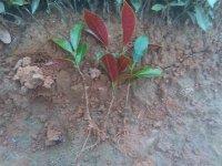 林香花卉苗木场供应优质红背桂扦插苗