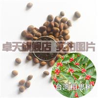 绿化苗木种子 相思树 红豆 孔雀豆种子 金合欢种子