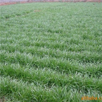 供应黑麦草 草坪