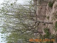 供应木瓜树、各种绿化苗木