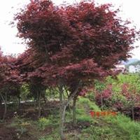 红枫树苗价格 红枫小苗价格 日本红枫小苗 红枫种子价格