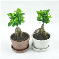 秒杀小型迷你小榕树 小盆景桌面绿色植物盆栽除甲醛防辐射