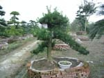 贴梗海棠、垂丝海棠、日本海棠及各式树桩山水盆景
