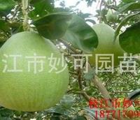 批发分支点50公分直径8公分柚子树