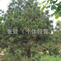 供应绿化苗木白皮松
