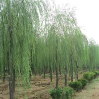 供应绿化大乔木垂柳  优质绿化苗木垂柳