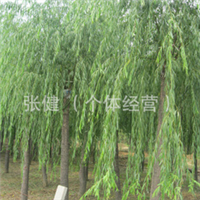 供应优质绿化工程用垂柳   树形优美垂柳  规格齐全