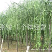 供应绿化工程苗木垂柳  优质10-30公分垂柳