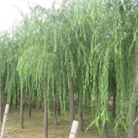 供应质优价廉垂柳   绿化乔木大垂柳