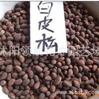 批发供应优质白皮松种子 当年新采 保质保量