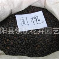 批发供应 国槐种子 净子 绿化苗木 当年新�� 保质保量