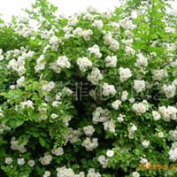 供应30万株适宜大西北生长的植物-蔷薇