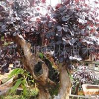 供应红继木盆景、古树桩盆景、花卉盆景等。沭阳盆景市场