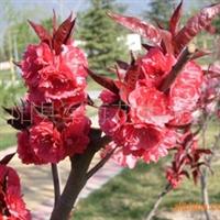 供应-紫叶碧桃-毛桃树-桃树苗-桃树种子-绿化苗木