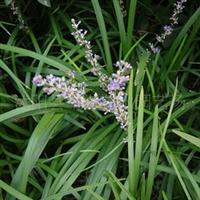 供应——吉祥草,绿化苗木
