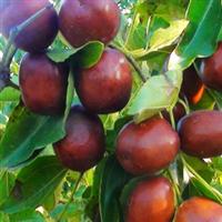 批发供应千年古树类枣树 木瓜树 梨树 等优质绿化苗木果树