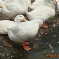 大量供应-----鸭批发、樱桃谷、白鸭