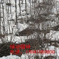 供应三角枫地球 茶条槭球 茶条槭小苗 三角枫落地球 三角枫球价格