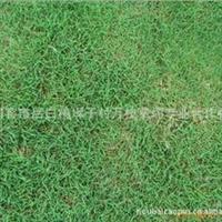 A【物美价廉】供应优质矮生百幕大草坪 马尼拉草坪 榉树 天堂草坪