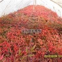 批发供应优质园林绿化红天竹(图)